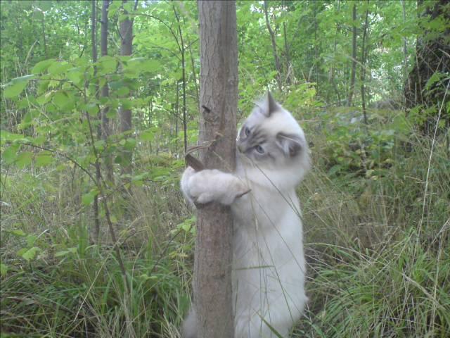 Trädkramande Katt