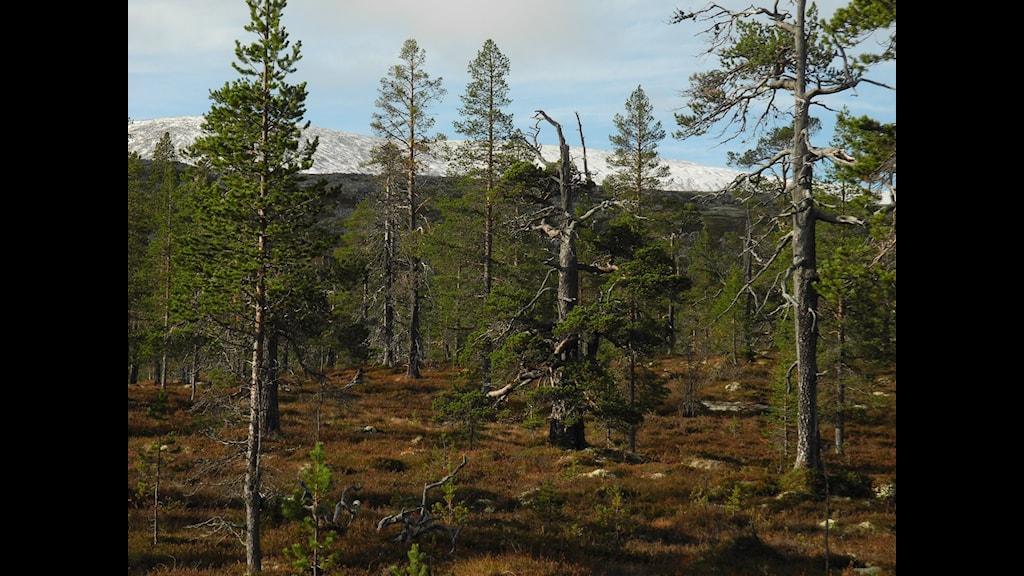 Urskogen vid Drevfjället är luckig och vacker. Foto: Sebastian Kirppu.