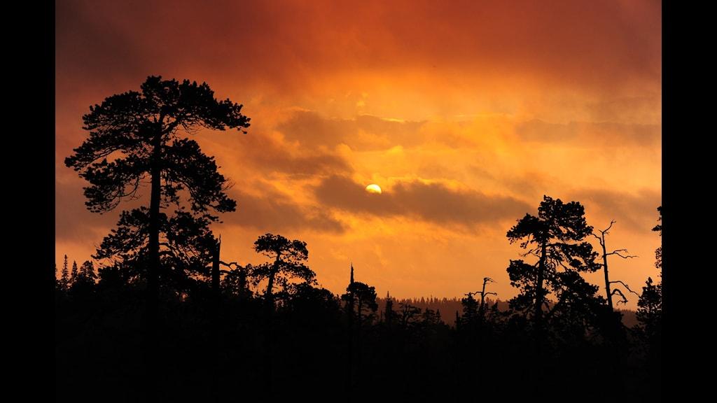 Siluetten av Drevfjällets urskog i solnedgången.