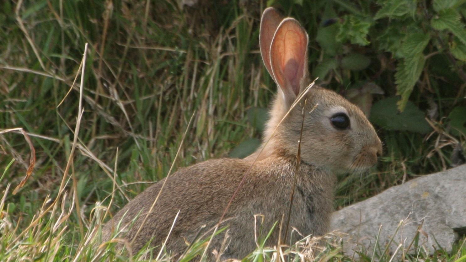 Många kaniner ger många kungsörnar