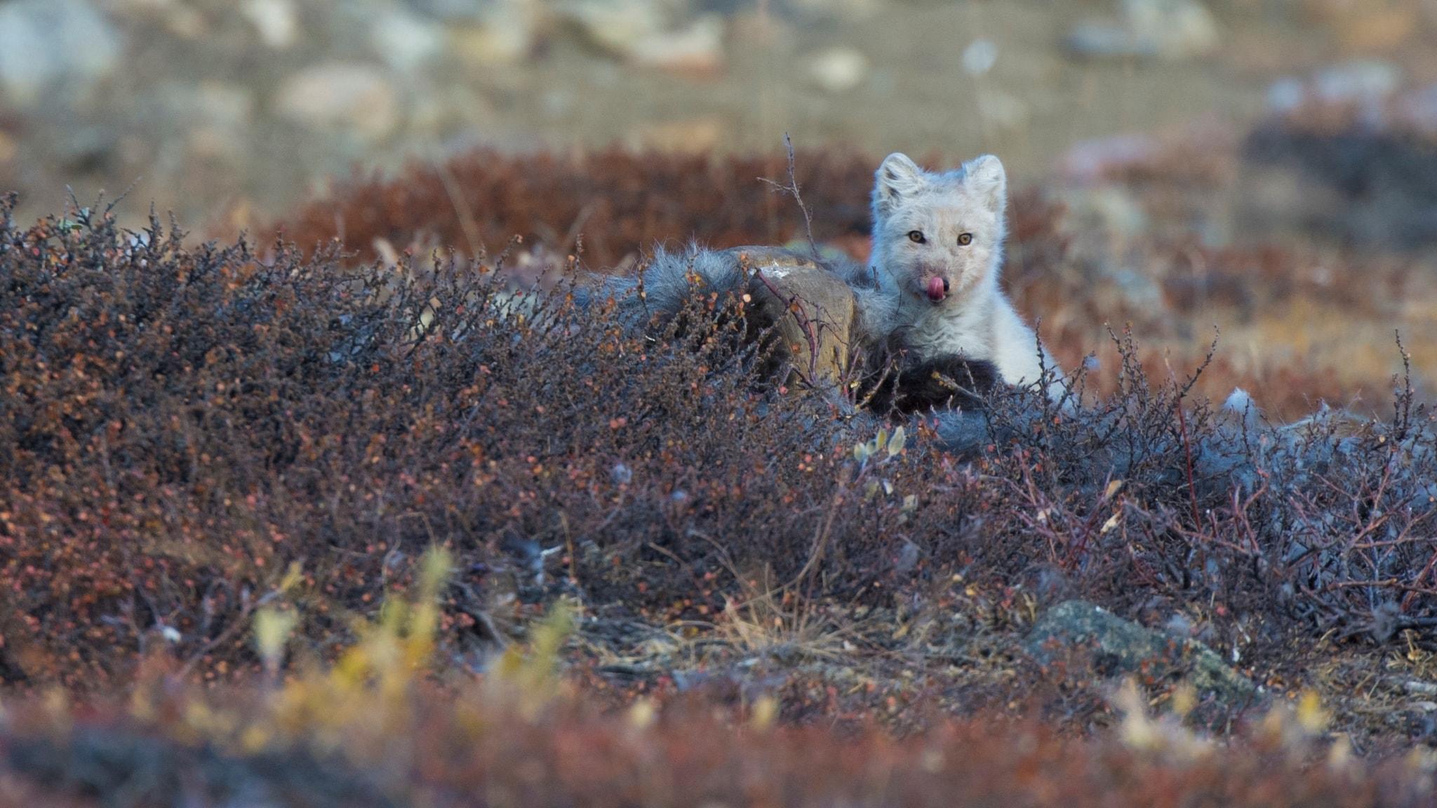 Grönlands polarrävar, myskoxar och smältande is