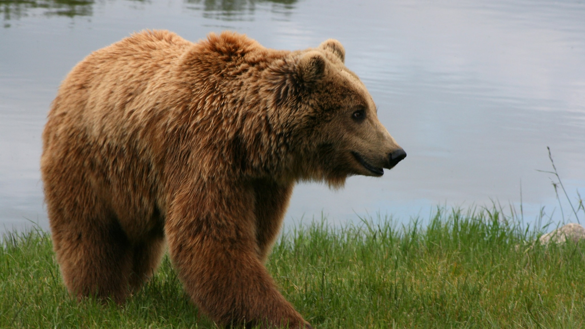 Drömmer björnen i idet? Naturpanelen svarar på lyssnarfrågor