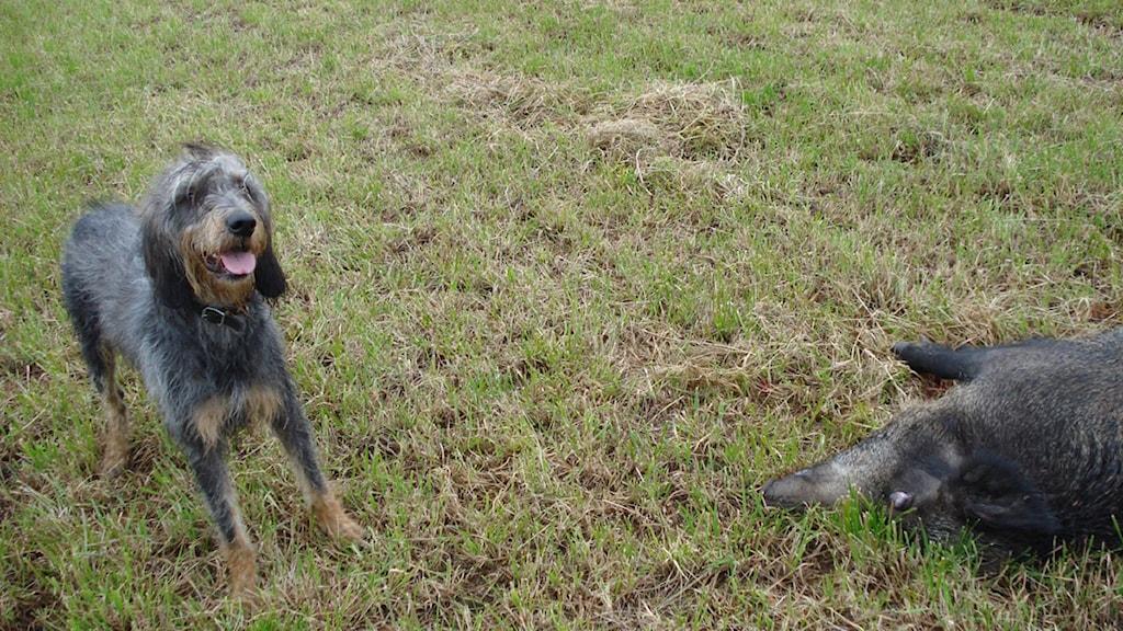Nivernais-hunden har avlats för vildsvinsjakt
