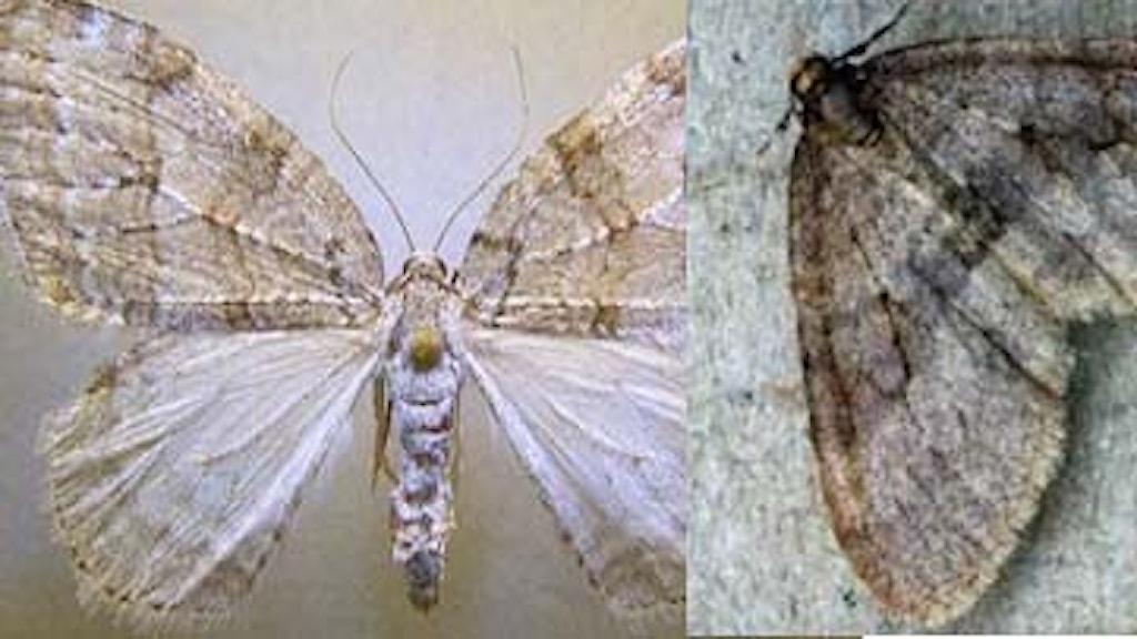 Två fjärilar