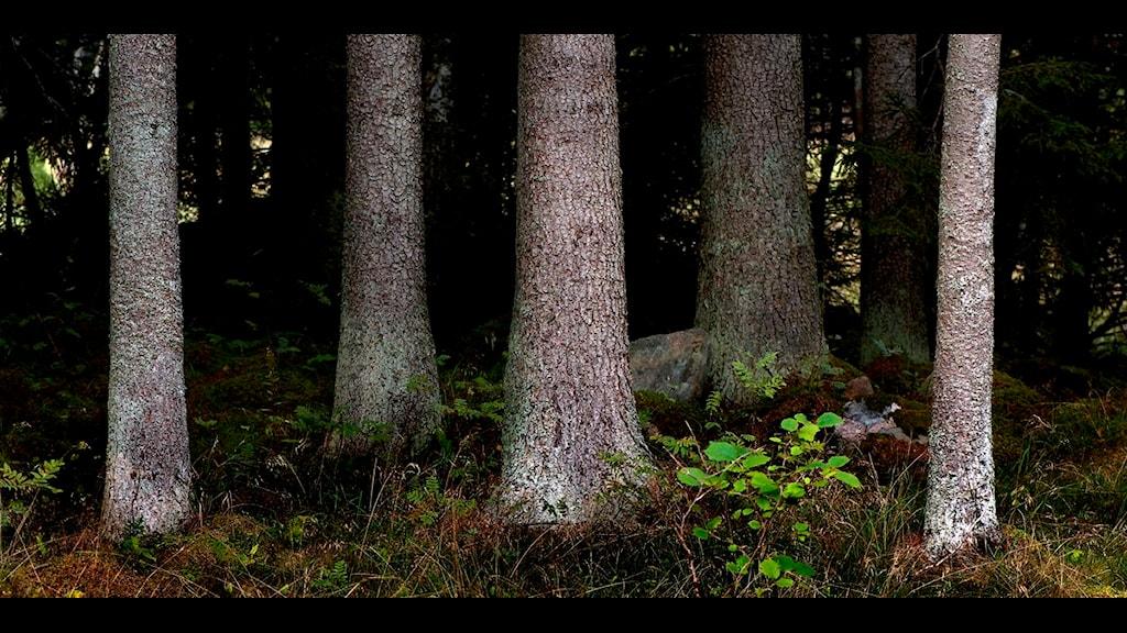 Granskog. Foto: Hasse Holmberg / Scanpix