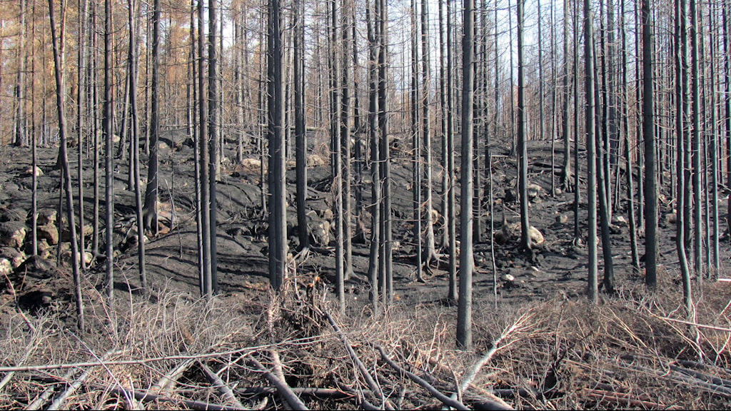 Efter skogsbranden i Västmanland. Foto: Marcus Carlsson/Sveriges Radio