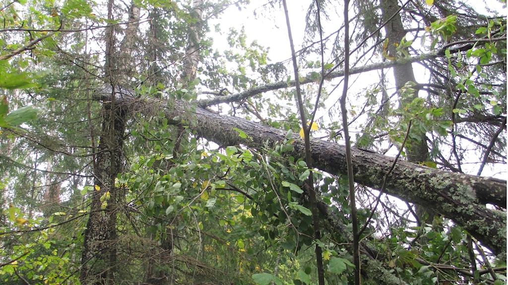 Det är många träd som brutits av i höstblåsten. Foto: Martin Hult/Sveriges Radio