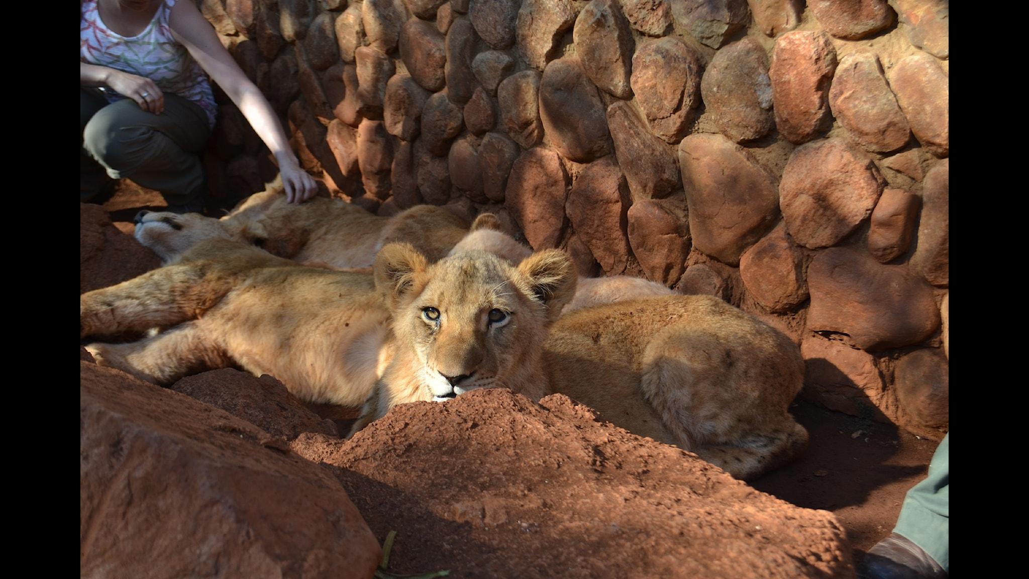 Volontärer tror att de räddar lejon - istället går de till troféjakt
