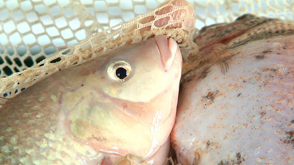 Haven håller sakta men säkert på att tömmas på fisk på grund av överfiske. Foto: Martha Irvine/Ap