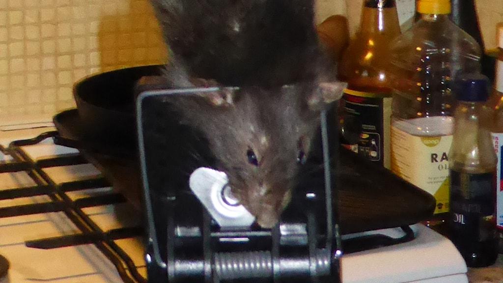 stor råtta