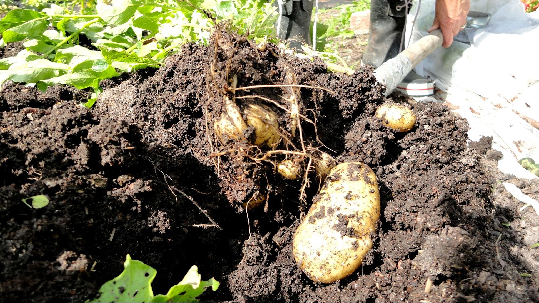 Potatisfrukter, rengöring av redskap och radiohistoria - spela