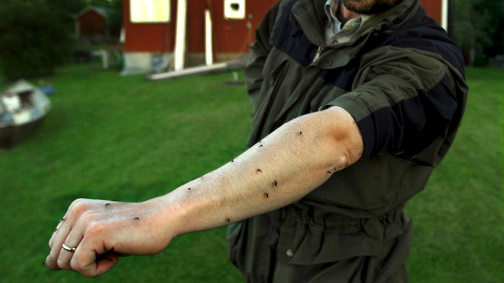 Some areas of Sweden are hit by swarms of the blood-suckers each year. File photo: Göran Widerberg/Vestmanlands Läns Tidning/TT