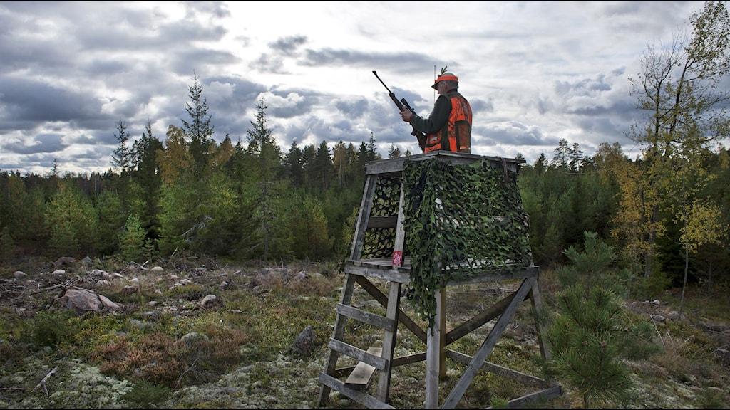 Älgjägare i ett jakttorn. Foto: Lars Pehrson/TT.