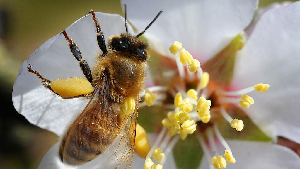 Honungsbi på blomma. Foto: TT