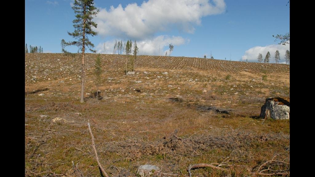 Sveaskogshygge Ausjaurliden aug 2009. Glest mellan sparade träd. Foto: Björn Mildh Skydda skogen