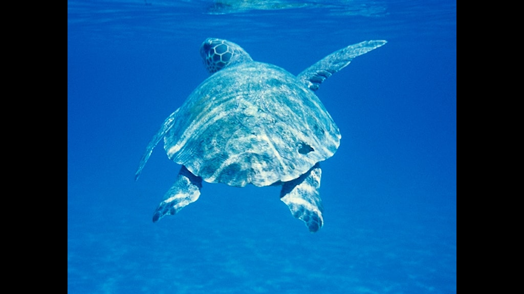Jättesköldpadda foto: Temes