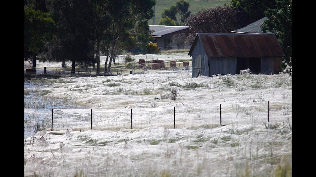 Spindlar som flyr undan översvämmningar spinner gigantiska nät. Foto:Lukas Coch/Scanpix.