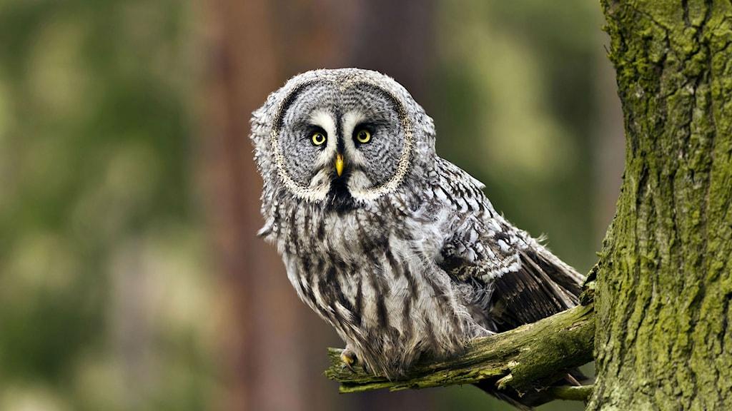 Lappuggla Foto: WWF Shutterstock