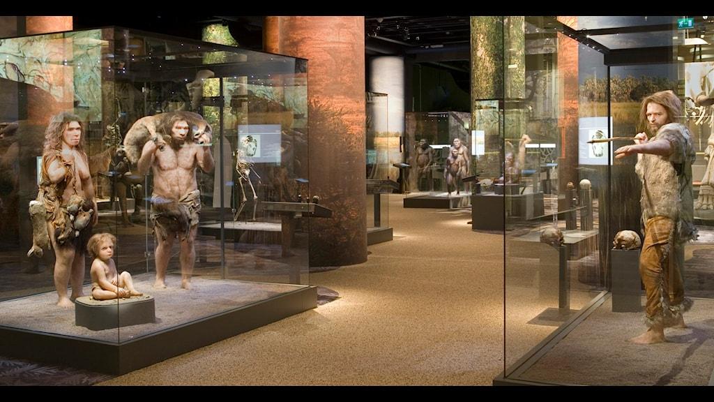 Neandertalare och Homo sapiens i Naturhistoriska riksmuseets utställning.  Foto: Staffan Waerndt/ NRM