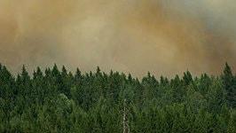 Granskog med rökig himmel