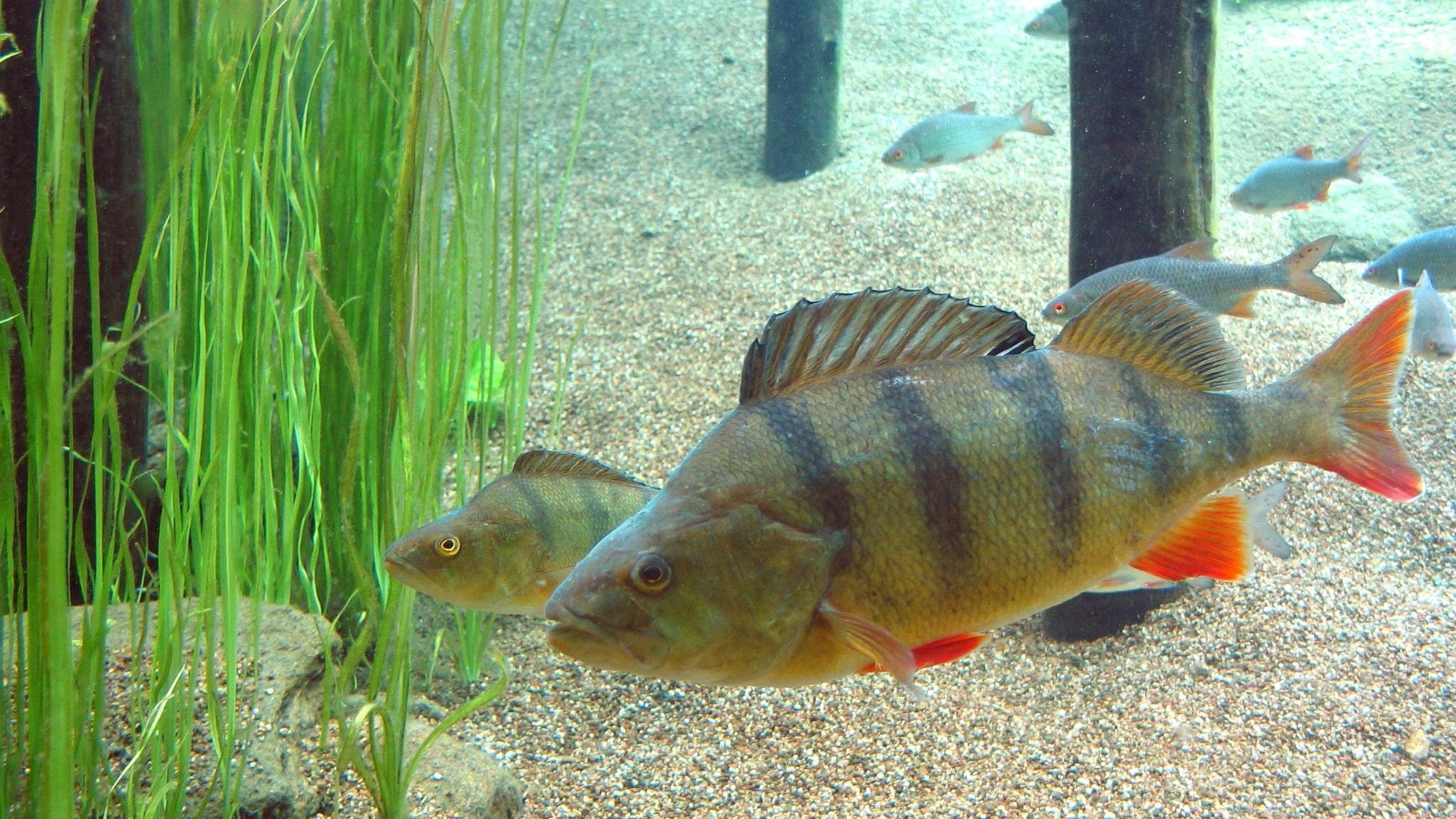 Fiskar föredrar skräpmat – äter plast