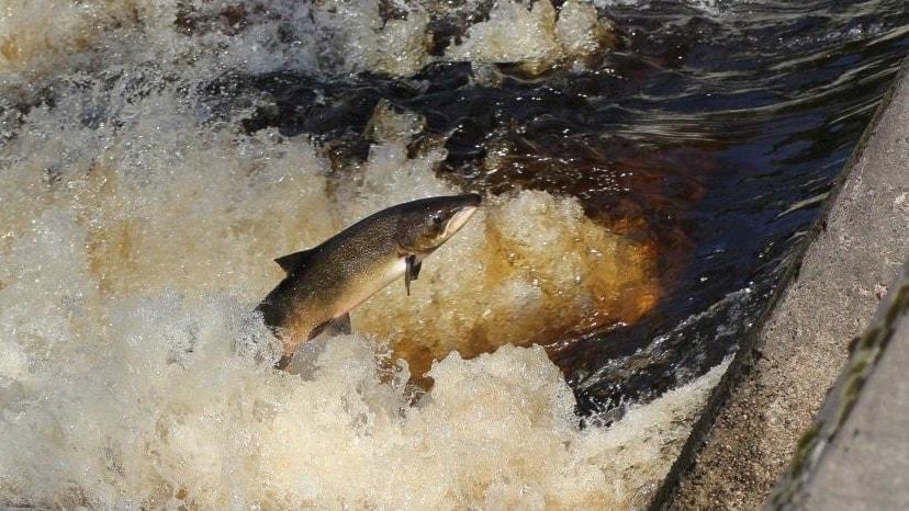 Fiskens kamp mot vattenkraften