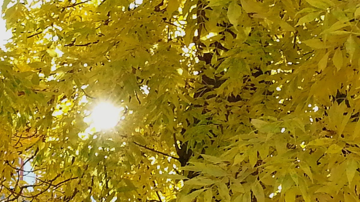 Fort blir löven gula