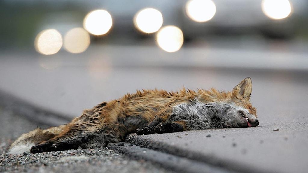 En påkörd räv ligger vid vägkanten till en motorväg. Foto: Fredrik Sandberg/Scanpix.