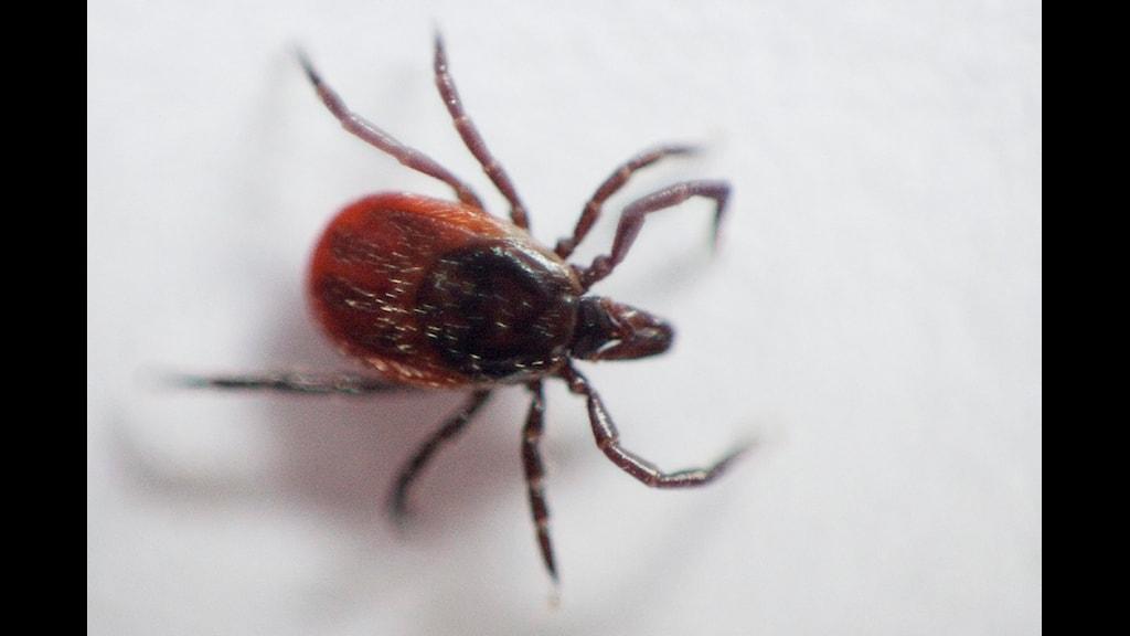 Smittan sprids troligen från smågnagare via fästingar till människor och kan ge blodproppar i ben och lungor. Foto: Kyrre Lien/Scanpix.