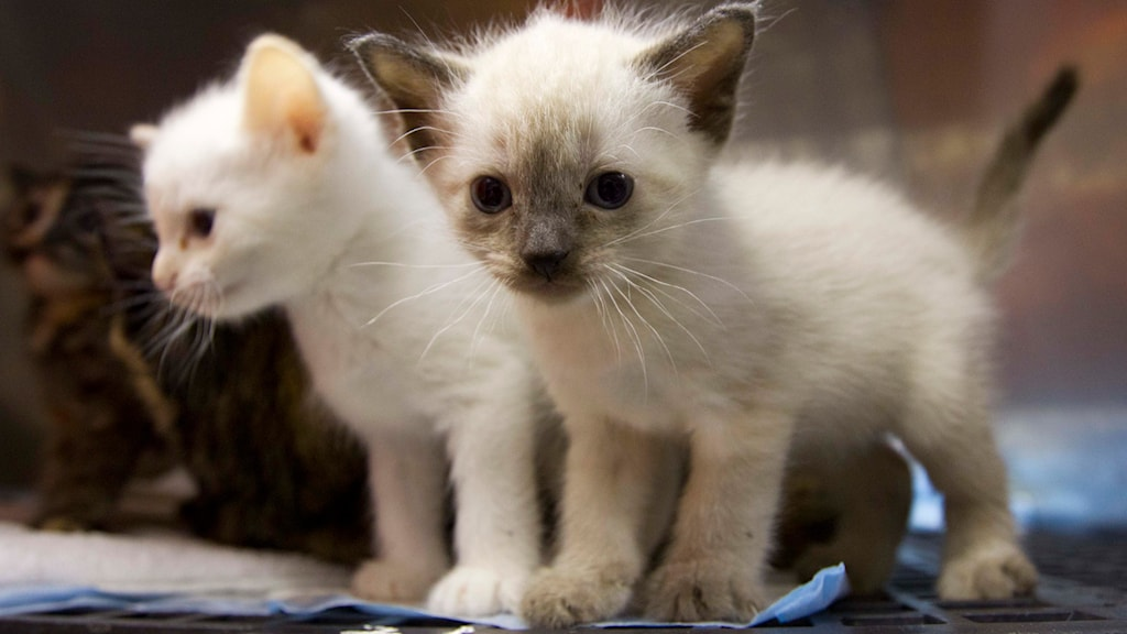 Katter. Foto: Dave Martin/TT
