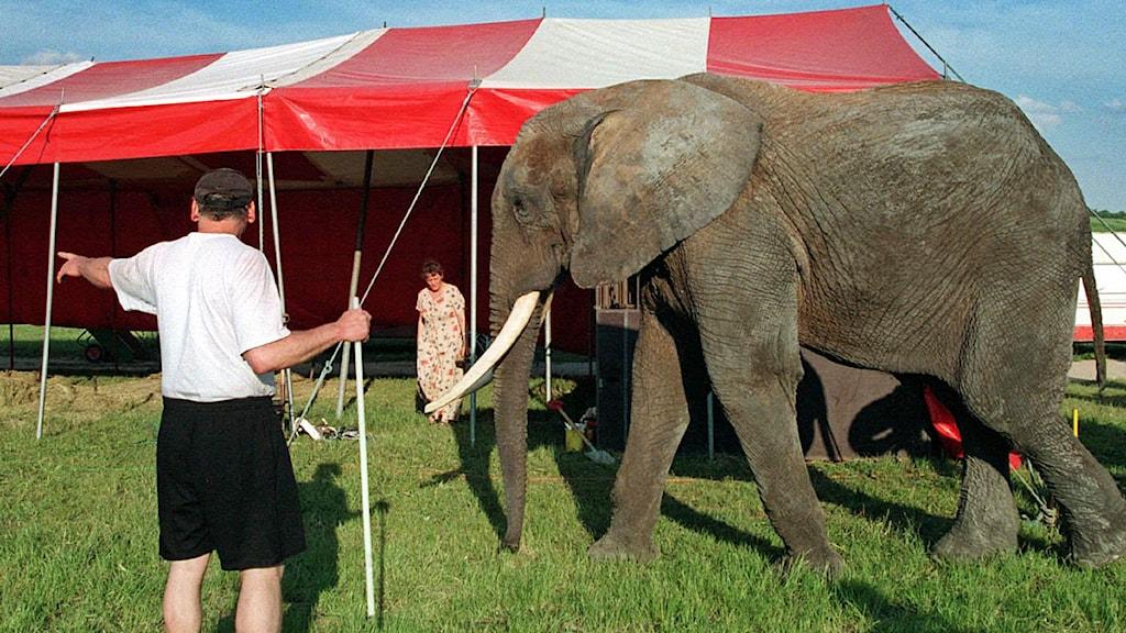 Genrebild. Elefanten på bilden har inget med händelsen i Sjöbo. Foto: Tobias Röstlund/TT Nyhetsbyrån