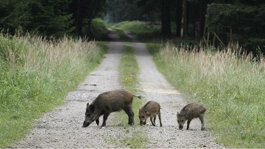 Allt fler vildsvin i länet. Foto: Matthias Schrader/Scanpix